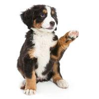 salasnicky-pes